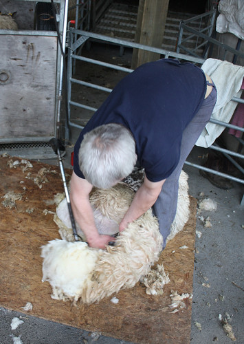 Shearing demo with electric clippers 1