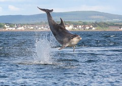 Moray firth bottlenose dolphin (Ally.Kemp) Tags: wild point mammal marine dolphin wildlife free scottish dolphins mammals moray rosemarkie blackisle firth chanonry bottlenose fortrose rossshire