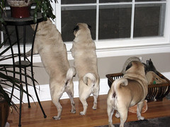 three pug butts