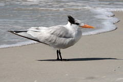 royal tern on the beach