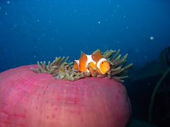 False Anemonefish in Anemone