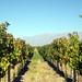 Grape Vineyard Tupungato 1967