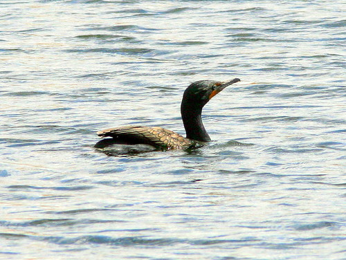Double-crested Cormorant 20090312