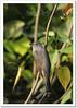Plaintive Cuckoo (Cacomantis merulinus), adult male (Z.Faisal) Tags: green bird nature nikon beak feathers aves prey nikkor bangladesh cuckoo avian bipedal bangla hunt faisal feni desh d300 zamir plaintive cacomantis pakhi plaintivecuckoo cacomantismerulinus endothermic nikkor300mmf4 muhuri kokil zamiruddin vosplusbellesphotos zamiruddinfaisal koroonkokil koroon merulinus zfaisal muhuriproject muhuridam sorgom