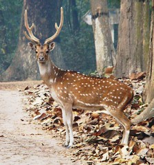 The Royal look (asis k. chatt) Tags: nature animal stag royal deer naturephotography otw animaladdiction myw excapture internationalgeographic naturallymagnificient