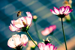 Hovering (davidwallace) Tags: flower bug dof bokeh magenta diagonal bee hover loth