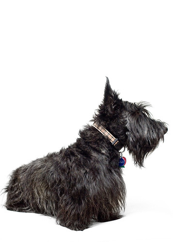 Profile Shot of Caolin by Scampering Scotties