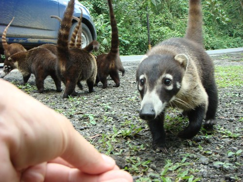 Nicolai feeding the picotes (coatis) near Lake Arenal - Costa Rica...