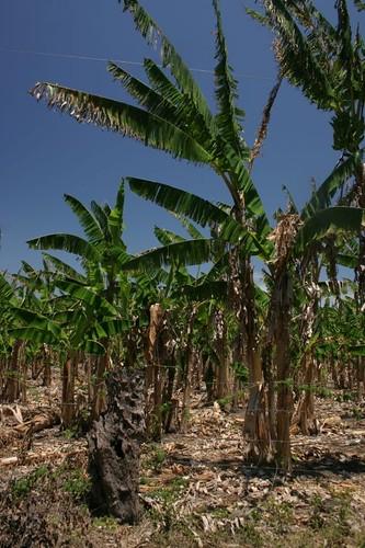 Banana palms on Isla Ometepe - Nicaragua