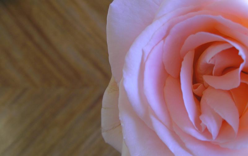 Study 5: Peach Rose