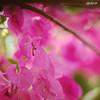 Happy birthday Vibha (sash/ slash) Tags: pink flower rose museum happy 50mm nikon sash brithday trivandrum vibha sajesh poombatta bogenvillae