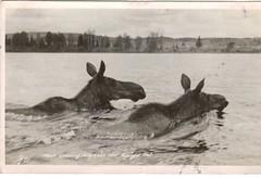 """Moose Crossing Polly Lake near Nipigon, ON"" (reinap) Tags: vintage postcard moose on nipigon pollylake"