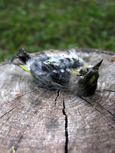 BONELUST - Dead Yellow-rumped Warbler 4