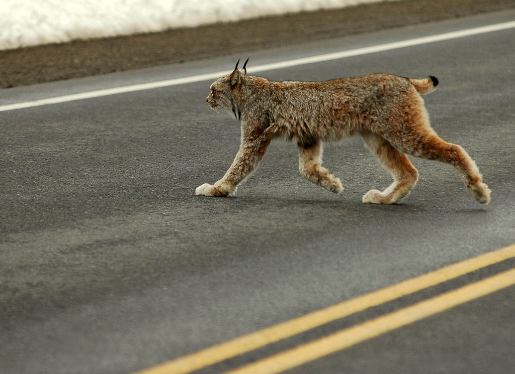 Lynx crossing.
