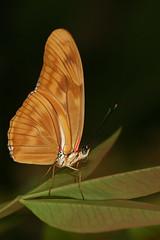 Jardin des papillons de Grevenmacher - 4 (didier.bier) Tags: butterfly luxembourg schmetterling grevenmacher papillons dryas iulia