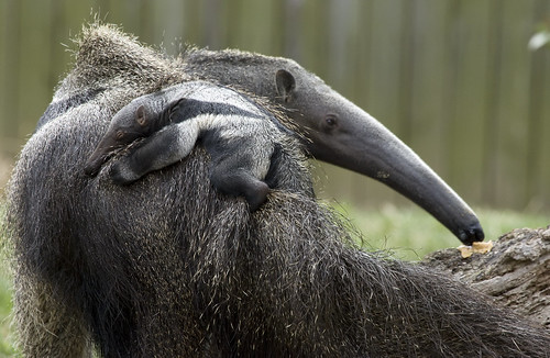 giant anteater baby