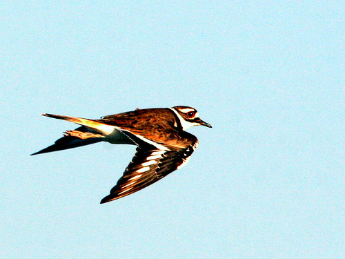 Killdeer Flying 20090416
