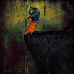 Cassowary Portrait (fesign) Tags: bird animal explore colourful papuanewguinea balibirdpark phylumchordata irianjaya explorefrontpage kingdomanimalia classaves specanimal goldenneckcassowary largestbird genuscasuarius atqueartificia casuariusunappendiculatus familycasuariidae orderstruthioniformes kasuarigelambirtunggal robertsartgallery