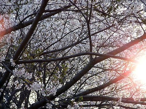 桑川小学校の桜~笹川流れ