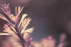..girl could get lost tonight... ({ Amy }) Tags: plant macro nature leaves bokeh foilage grevillea pps hpps perfectpurplesaturday amysimonsphotography