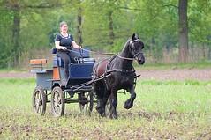 DSC_4837 (amable) Tags: horses horse playing driving fries paard paarden prancing friesian rearing steigeren jauke vrijheidsdressuur tricktraining