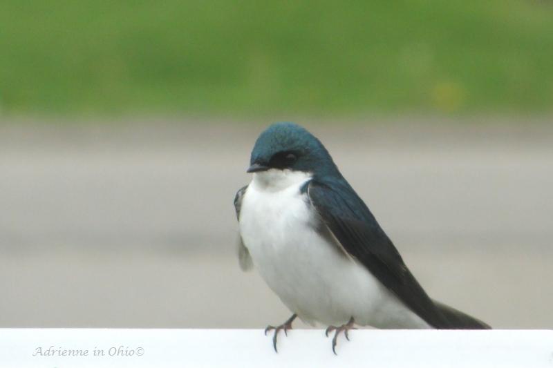tree swallow photo by Adrienne Zwart in OHio