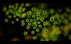 Watch the Stars go out (isayx3) Tags: plant motion blur flower green nature 35mm wednesday stars happy bush nikon bokeh nikkor f18 dubstar d40 hbw