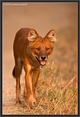 Indian Wild Dog ~ known as Dhole ~ Kanha National Park (The Eternity Photography) Tags: india tourism nature look canon nationalpark wildlife safari stare reddog 2009 sanctuary wildlifesafari digitalphotography wilddog goldenlight madhyapradesh kanhatigerreserve kanha centralindia canidae wildlifephotography dhole kanhanationalpark incredibleindia mukki asiaticwilddog cuonalpinus indianwilddog kanhawildlifesanctuary santanubanik theeternity httpwwwfrozenforeternitycomimagesindexphp     wwwfrozenforeternitycom