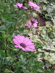 Osteospermum (Elisa Severi) Tags: flowers flower nature garden natura fiori fiore giardino naturalmente elisaseveri