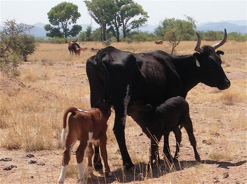 Resultado de imagen para Vacas criollas
