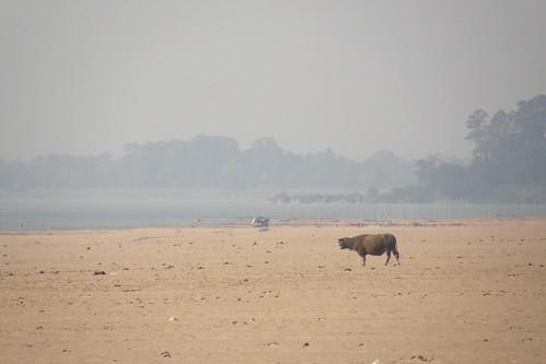 158.沙洲上覓食的牛隻