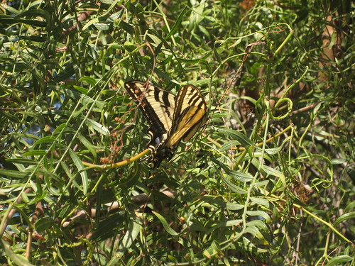 Swallowtail in the canyon