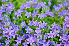 Small blue flowers (Tambako the Jaguar) Tags: blue plants flower cute closeup nikon dof bokeh small violet d300 purble