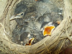 Baby robins (June 24 2009) (JRBooth) Tags: nature nest wildlife robins hatchlings babybirds