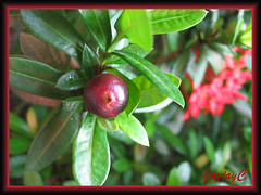 Maroon-colored berry of Ixora coccinea 'Dwarf Red' (Jungle Flame/Geranium)