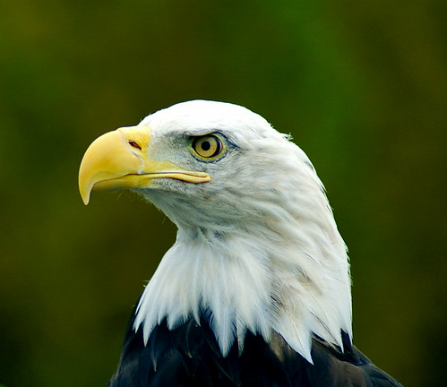American Bald Eagle Close-up Portrait