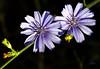ESTRELLAS AZULES (Licy (Iris de Paz)) Tags: vosplusbellesphotos olétusfotos tff1 atomicaward