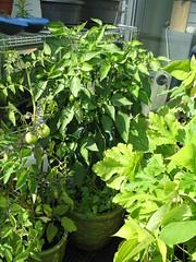 Sweet yellow pepper plant. (tannie) Tags: plants gardening balcony balkon paprika plantjes sweetpepper taxonomy:genus=capsicum taxonomy:species=annuum taxonomy:common=sweetpepper