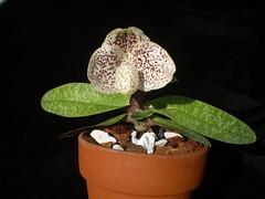 Paph. Triple Bella (dwittkower) Tags: orchid flower flora orchids orchidaceae paph hybrid slipper orquideas ladyslipper paphiopedilum orchidée ladysslipper slipperorchid orqudea