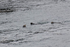 3 Point Lobos Otters (keymaker23) Tags: monterey marine pacific mammals 2009 otters otterfamily dsc0103
