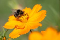 Jardin des Plantes-78 (MissDogo) Tags: paris macro fleur parc insectes jardindesplantes bourdon proxyphoto hym jardinalpin hyménoptères hymnoptres