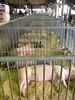 pigs sleeping in cage (liangjinjian) Tags: columbus ohio summer usa animal pig nikon coolpix 2009 美国 ohiostatefair p80 俄亥俄 哥伦布 upcoming:event=3066310