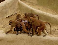 family portrait (ÇaD) Tags: family zoo chad monkeys familyportrait babymonkey cagdas ozturk deger cagdasdeger
