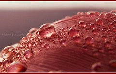 """A lot of memories"" (B@rbar@ (Barbara Palmisano)) Tags: pink red macro nature water colors drops bokeh memories rosa natura drop petal gotas 1001nights acqua rosso colori ricordi unforgetable goccia gocce petalo ""the pictures"" supershot bej mywinners abigfave worldbest citrit theunforgettablepictures goldstaraward multimegashot waterdropsmacros goldenart specialspictures uniqueaward"