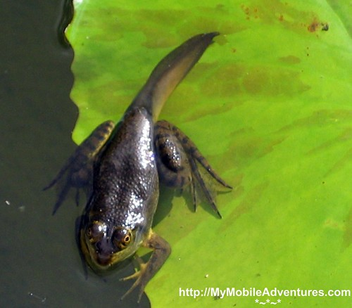 IMG_0389-Frog-tadpole-EPCOT-China