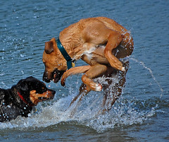 loch ness (S Alex Maier) Tags: park ohio rescue dog lake playing love beach alex wet water smile monster swimming swim wow fur fun happy geese jump jumping paw nikon play action lock live steve dive happiness drop goose national valley bow chase cuyahoga droplet grateful greater loch roger splash collar ridgeback shelter dogpark society lochnessmonster gratitude lochness akron ness nessie stow soaked humane lockness rhodesian splashing rearing maier cvnp rotweiller liveinthemoment d40 abigfave bowwowbeach thechallengefactory hsga michaelvickisadouchebag