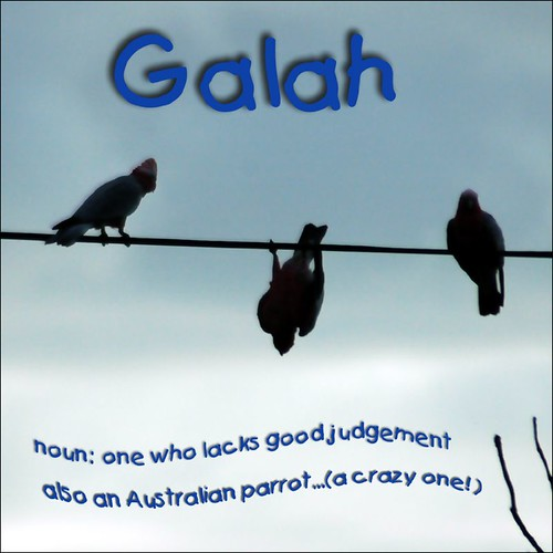 Galah #4