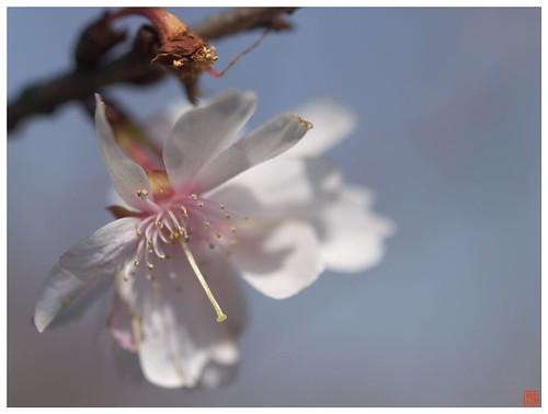 Cherry blossoms 090315 #01