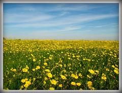 campo margaritas (ƒiore arancione) Tags: blue españa flores flower green yellow spain murcia margaritas daisys naturesfinest