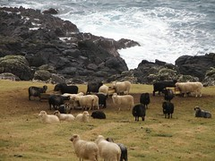 Sheep near the North Atlantic Ocean (Eileen Sand) Tags: ocean sea cliff coast sheep cliffs coastline faroeislands fr faroes froyar frerne foroyar sandoy seyur skarvanes